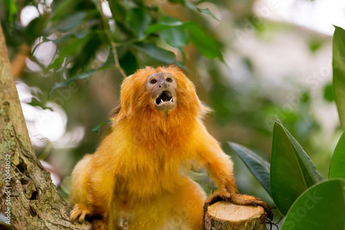 Poster Golden Lion Tamarin