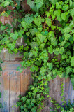 Ivy on a wooden wall
