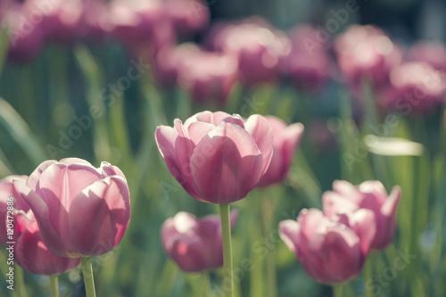 pink tulip flowers closeup Poster