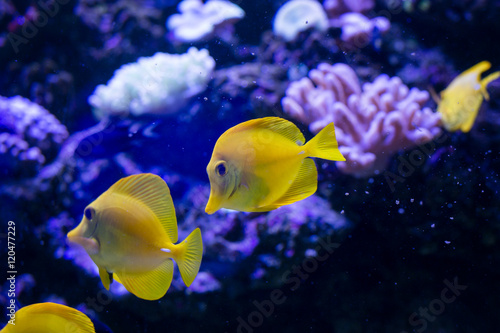 Fototapeta Tropical fishes swim near coral reef. Underwater life.