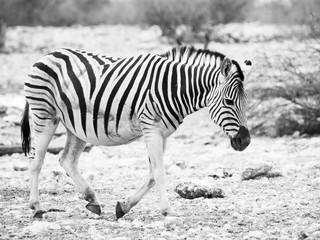 Lonesome zebra walks across dry land and looks very sad. Balck and white image.