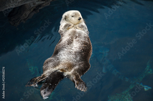 Otter sleeps and floats on his back. Poster