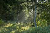 Solstrålar genom dimmig skog