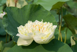 White nelumbo waterlily in the water