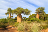 Baobab trees in an African landscape