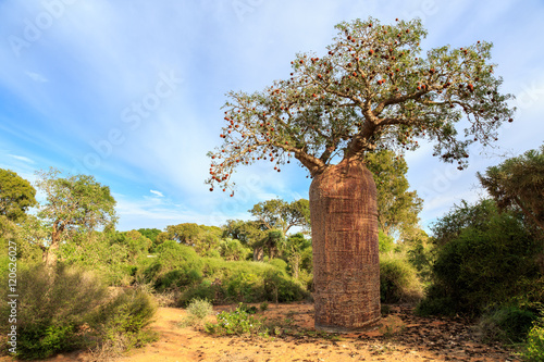 Plexiglas Baobab Baobab tree with fruit and leaves in an African landscape