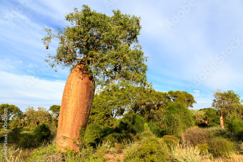 Papiers peints Baobab Baobab tree with fruit and leaves in an African landscape