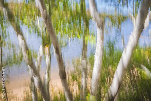Obraz Birch trees on lake shore