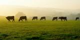 Herd of cows grazing on a farmland in Devon, England - 120669486