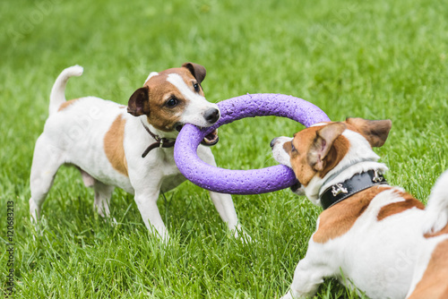 Two dogs struggle playing tug war game Poster