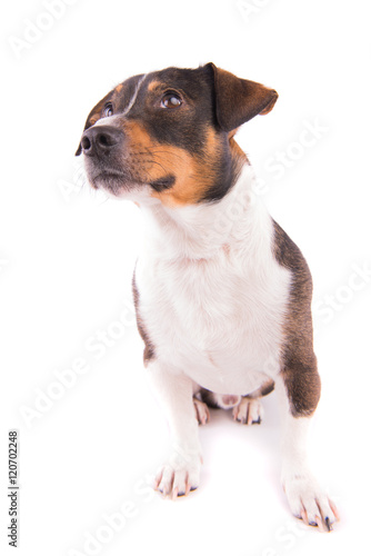 Jack Russell terrier on a white background Poster