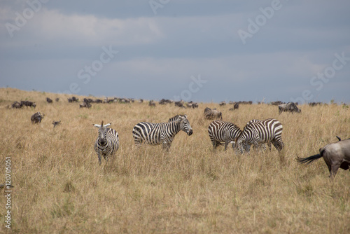 Fotobehang Leeuw Beautiful Herd in the nature of Masai mara ,kenya, africa