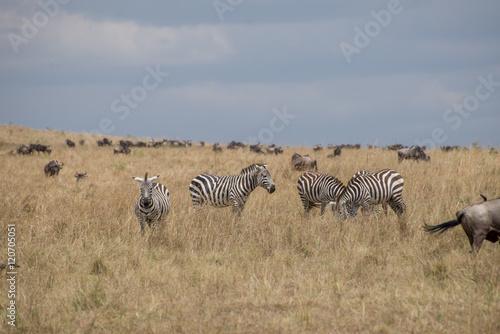 Fotobehang Overige Beautiful Herd in the nature of Masai mara ,kenya, africa