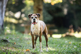 Old Pet Boxer Dog - 120714032