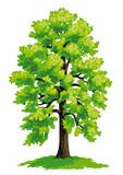 Linden tree - vector drawing