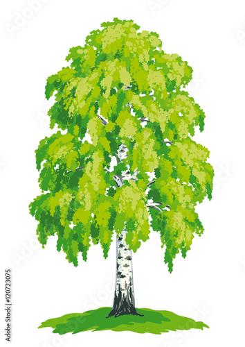 Birch tree - vector drawing - 120723075