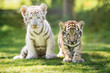 white and red tiger cubs outdoors
