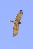 Biancone (Circaetus gallicus) in volo