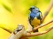 The Turquoise Tanager (Tangara mexicana). Tropical bird in rainforest. Wallpaper from nature.