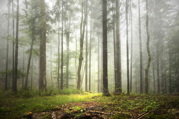 Beautiful foggy forest landscape with rainfall. © robsonphoto