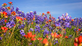 Wildflowers in Texas Hill Country - bluebonnet and indian paintb - 120800064