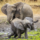 Elephants Playing in the Mud, Tanzania