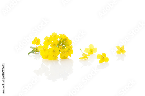 Rapeseed flower isolated on white.
