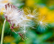 Dandelion seeds: Hopes, wishes and dreams: We fly away to fulfill wishes :)
