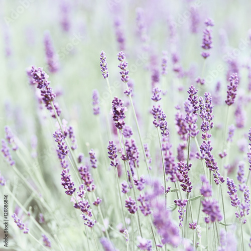 Field of Lavender (close up) - 120886846