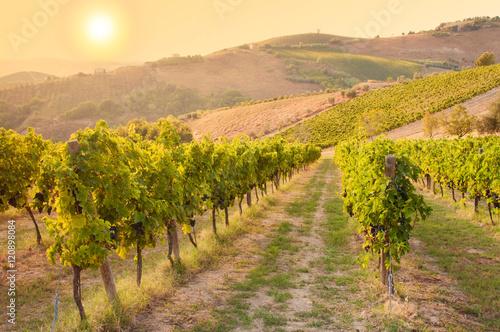 Vineyard among Hills on sunset