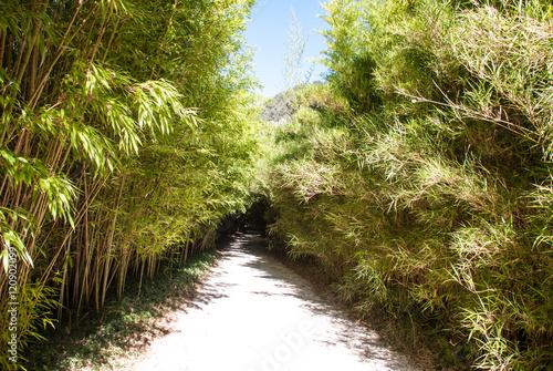 Green bamboo forest, bamboo park. La Roque Gageac, Dordogne, Perigord, France