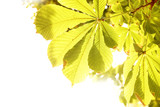 Yellow leaves of chestnut
