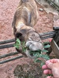 cammello goloso