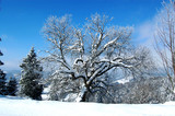 winter  forest, tree in snow