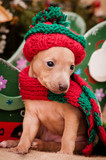 Italian greyhound puppy on New Year