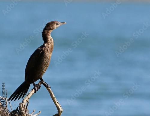 Fotobehang Zwaan Cormorant, Pygmy Cormorant, Phalacrocorax pygmaeus