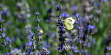 Butterfly in lavender field