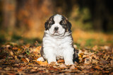 Saint bernard puppy sitting in the park in autumn