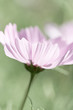 Pink Cosmos Flower (close up)