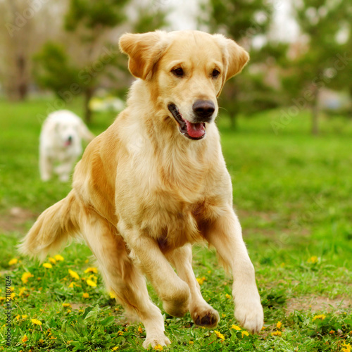 Aluminium Hond Beautiful happy dog Golden Retriever running around and playing