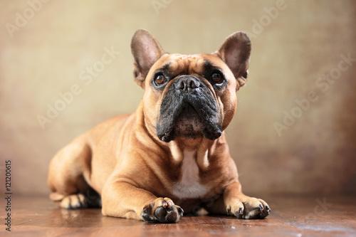 Aluminium Franse bulldog liegende Französische Bulldogge im Studio