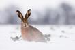 European brown hare-lepus europeaus