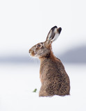 European brown hare-lepus europeaus