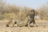 An Arabian dhab lizard in defensive posture
