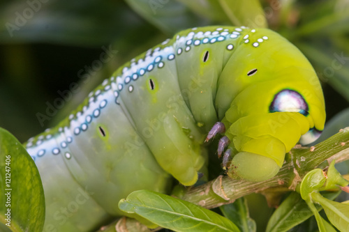 Close up macro Caterpillar / green worm is eating tree leaf Poster