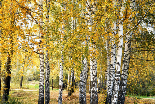 Birch grove with yellow leaves in cloudy autumn day
