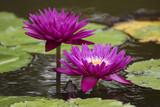 Magenta Water Lilies
