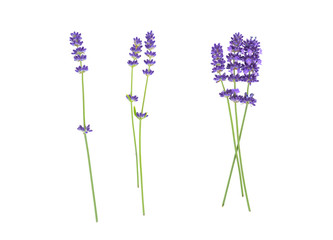 Lavender flowers isolated on white
