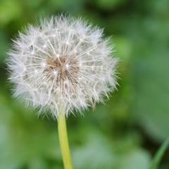 Dandelion - seeds