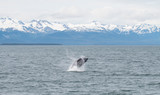 Baby Humpback Whale Breaching 2